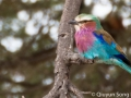 The beautiful lilac-breasted roller, national bird of Kenya but photographed in Tanzania!