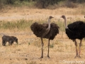 Ostrich and warthog couples, paired for life