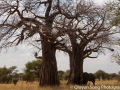 A sleeping giant under the iconic baobab trees in Tarangire
