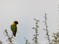 The pretty yellow-collared lovebird - too bad I only saw one and not a pair!
