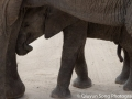 A snuggling juvenile male elephant