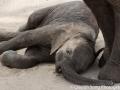 A sleepy baby elephant